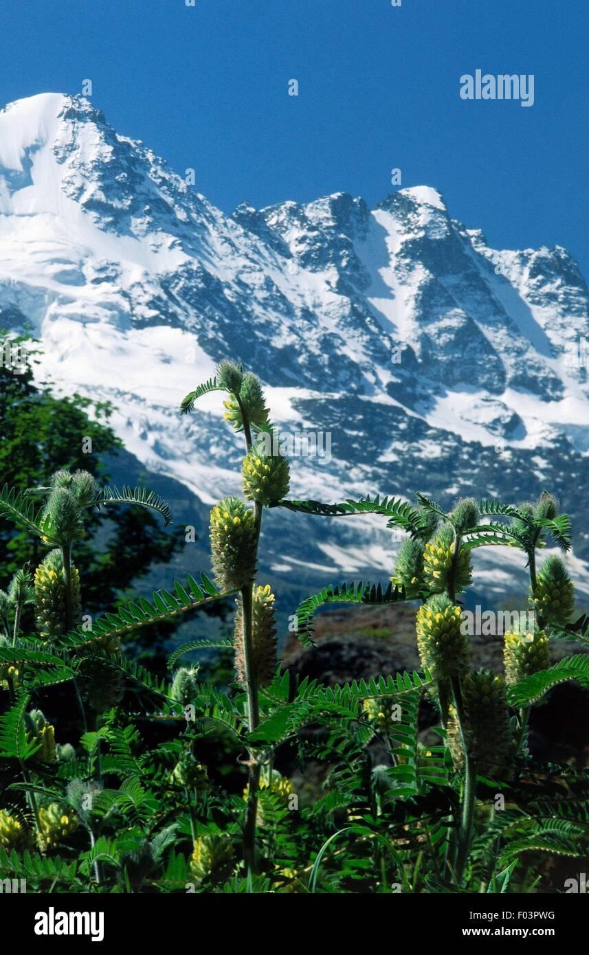 Plus astragalusv Astragalus centralpinus() Jardin Botanique Alpin ...