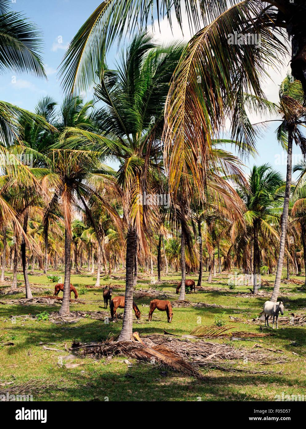 Les chevaux paissent dans un champ de palmiers, près de Jericoacara Brésil nord du Brésil Photo Stock