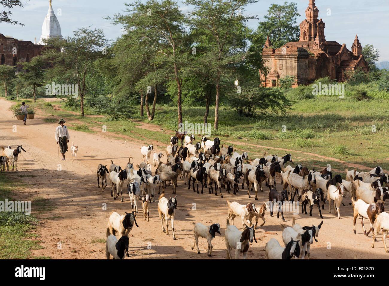 Chevrier et les chèvres en Min Nan mon village de Bagan, Myanmar avec des temples en arrière-plan Photo Stock