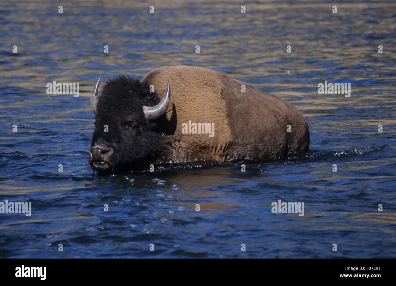 Prises dans le bison à pied profil gauche à travers l'eau d'un bleu profond Photo Stock