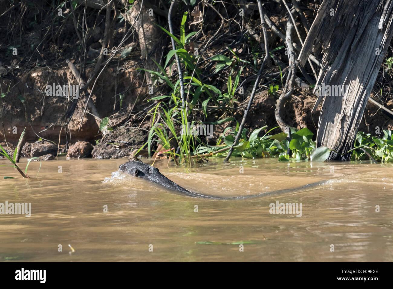 La loutre géante rapide piscine près de plein régime, Rio Cuiaba, Pantanal, Brésil Banque D'Images