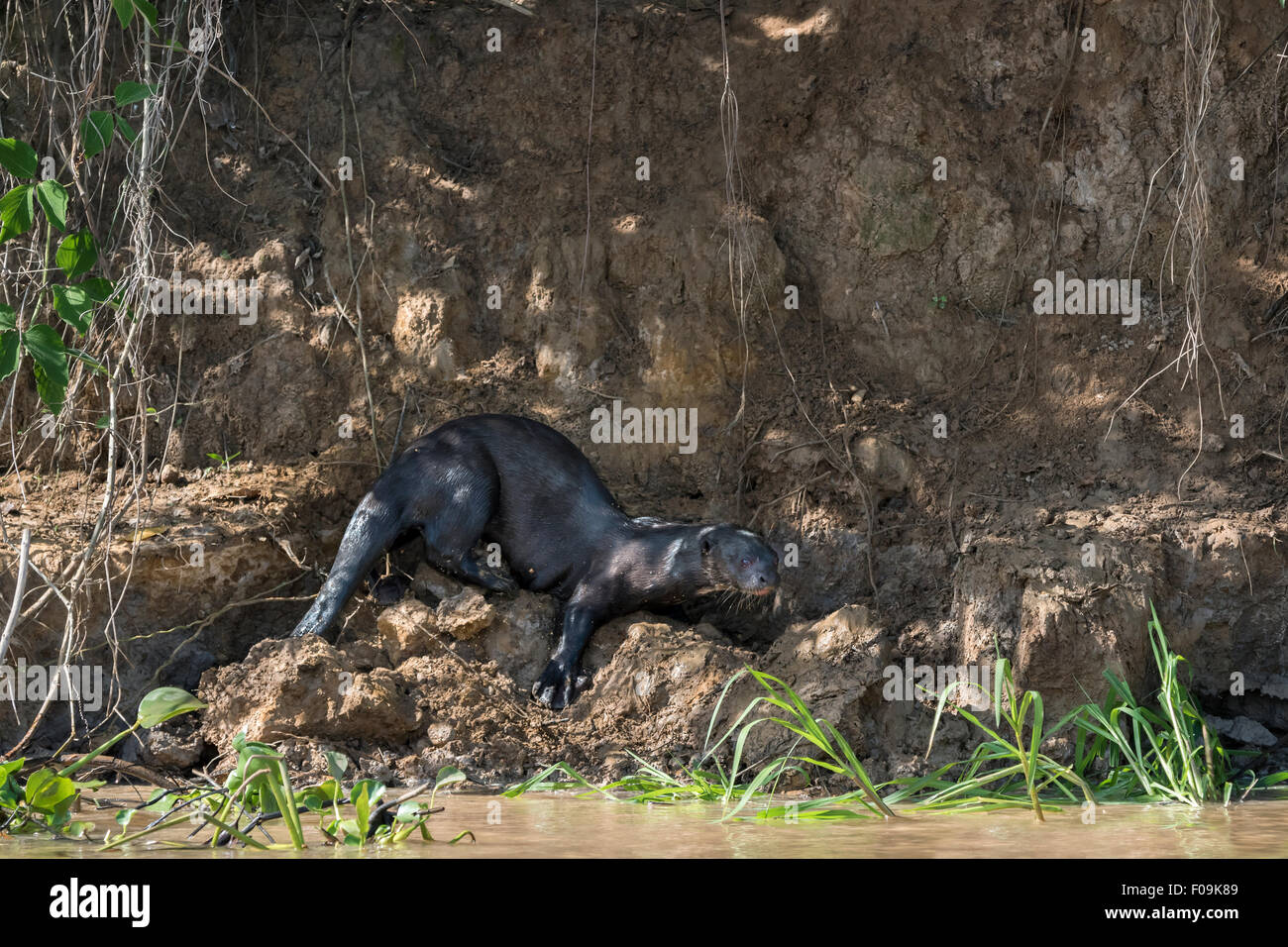 La loutre géante (Pteronura brasiliensis) jouer par le Rio Cuiaba, Pantanal, Brésil Banque D'Images