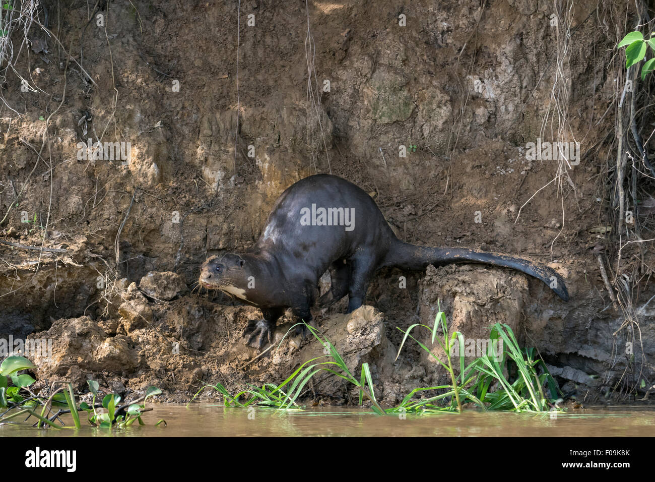 La loutre géante (Pteronura brasiliensis) sur une rive du fleuve boueux, Rio Cuiaba, Pantanal, Brésil Banque D'Images
