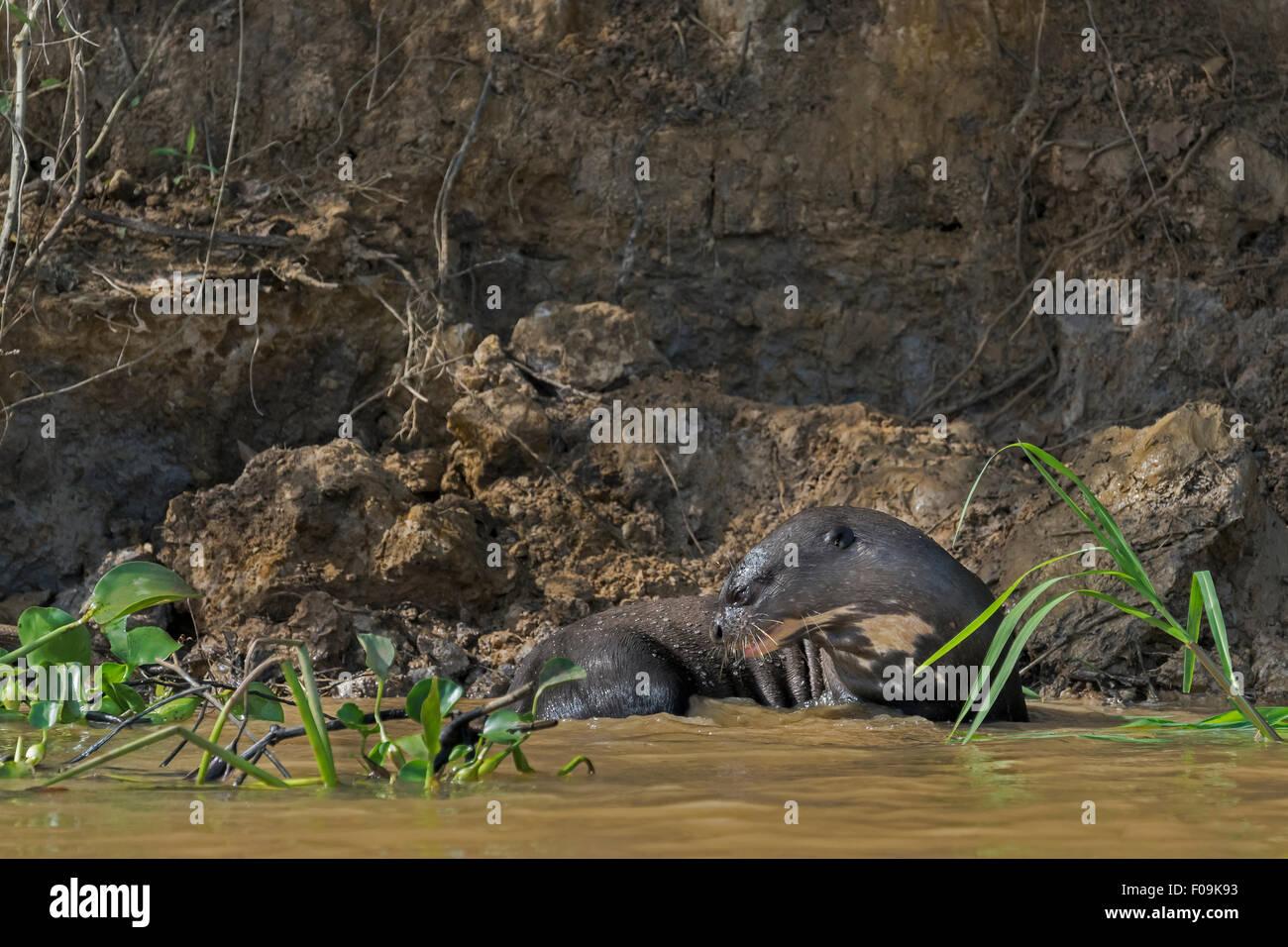 La loutre géante (Pteronura brasiliensis) sur le point d'entrer dans la rivière, le Rio Cuiaba, Pantanal, Brésil Banque D'Images