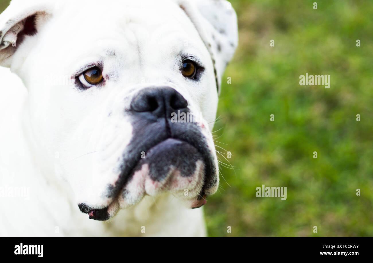 Bouledogue Américain blanc close up Banque D'Images