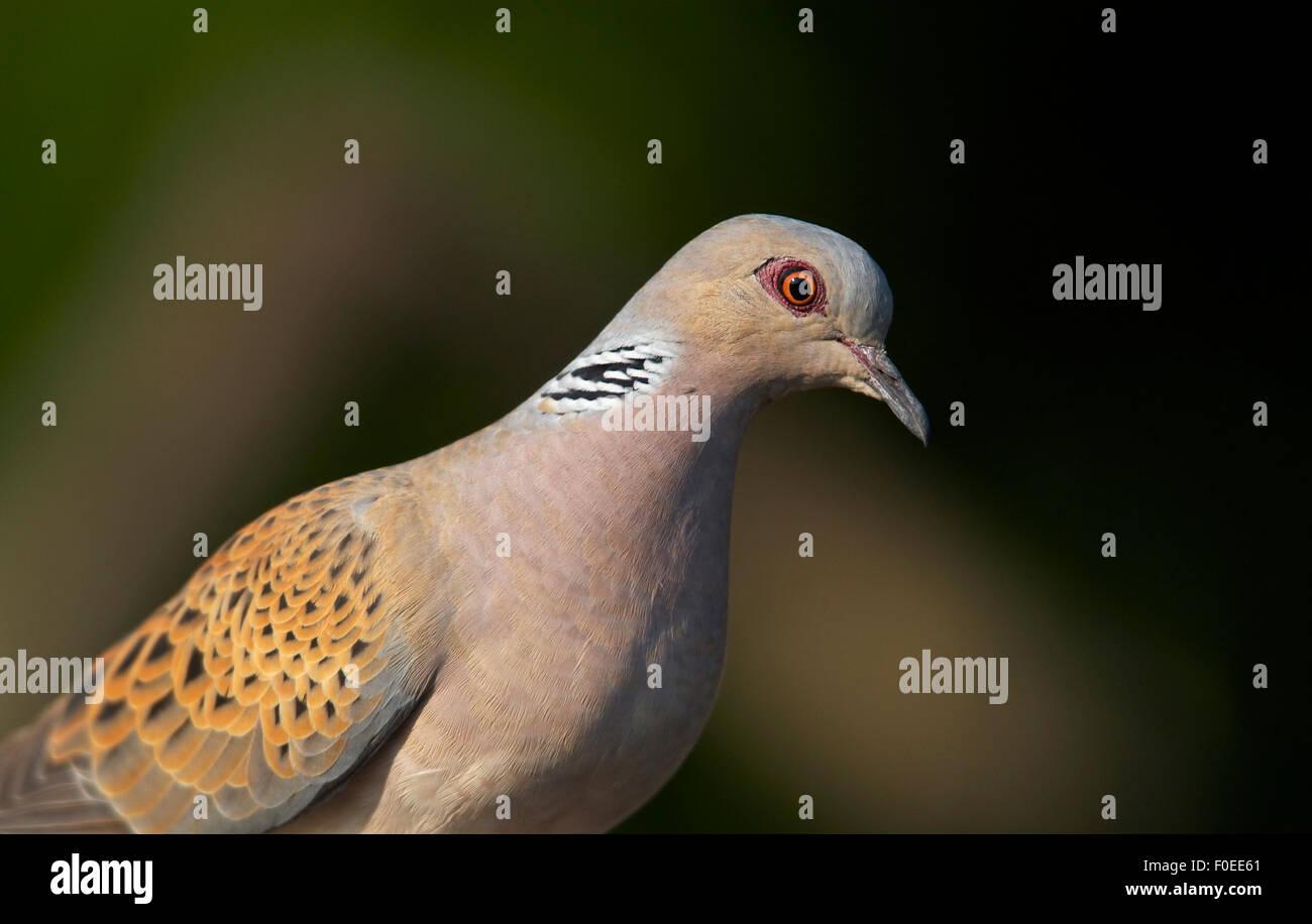 Turtle Dove (Streptopelia turtur) Pusztaszer, Hongrie, Mai 2008 Photo Stock