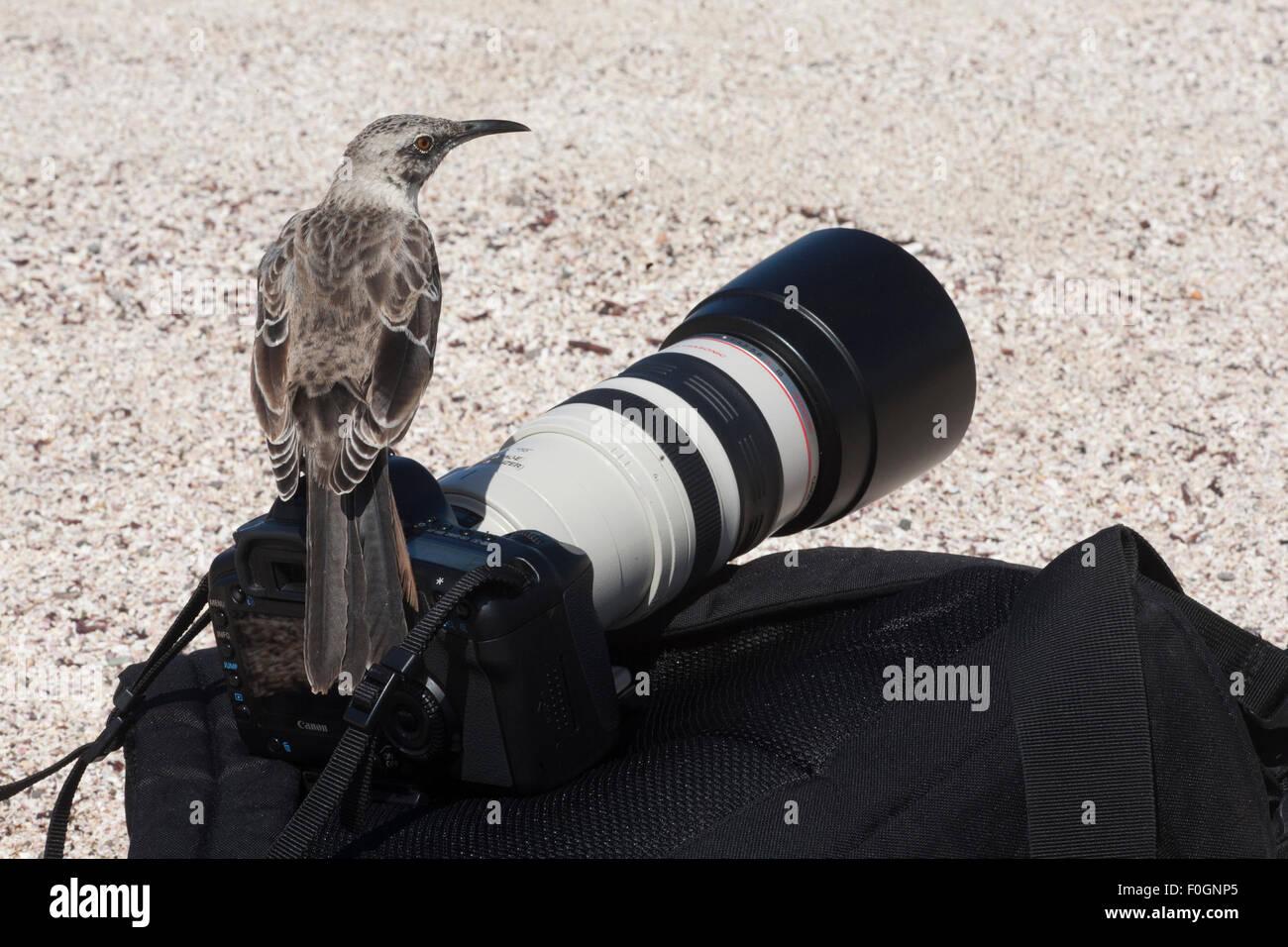 Espanola Mockingbird (Mimus macdonaldi) perché sur l'appareil photo de touriste et pack. Banque D'Images
