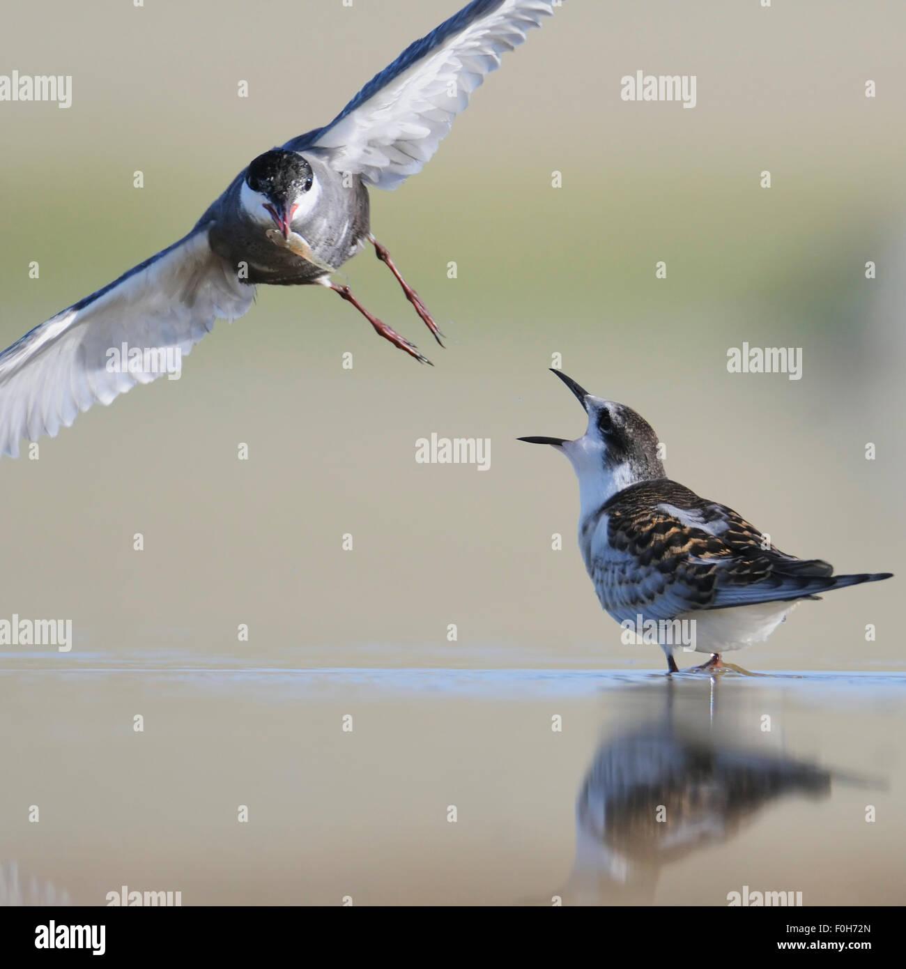 Flying sterne naine rss un poussin au bord du lac Banque D'Images