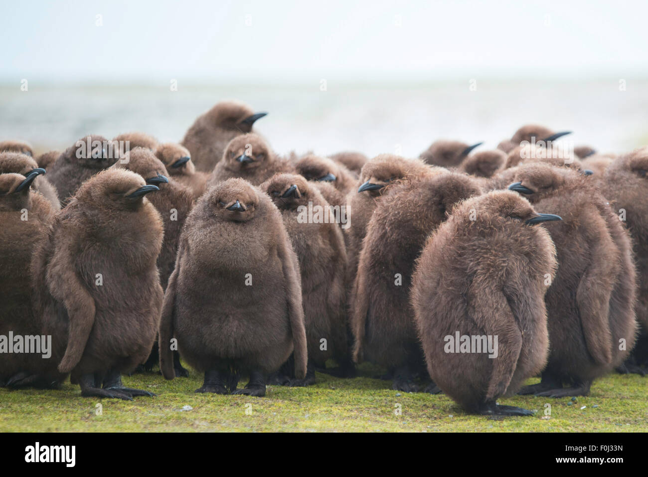 Manchot royal (Aptenodytes patagonicus) Crèche de gros poussins brun. Banque D'Images