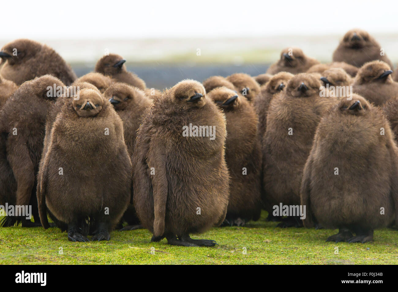 Manchot royal (Aptenodytes patagonicus) Crèche de gros poussins brun. Point de bénévolat, îles Falkland. Banque D'Images