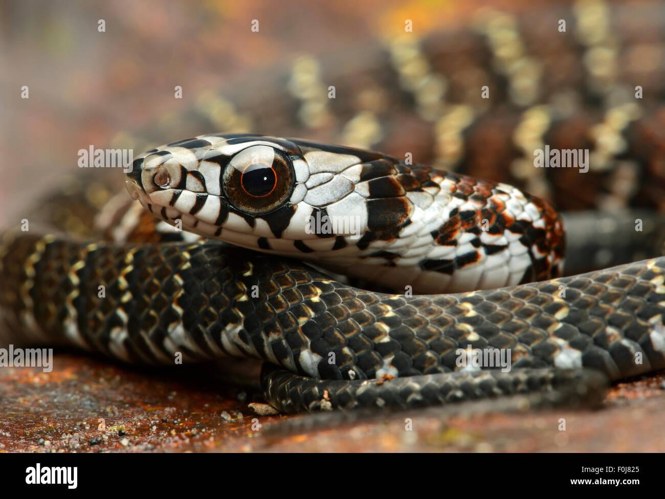 Forêt fauve Racer (Dendrophidion dendrophis), snake (Colubridae), Amazon rainforest, Parc national Yasuni, Photo Stock