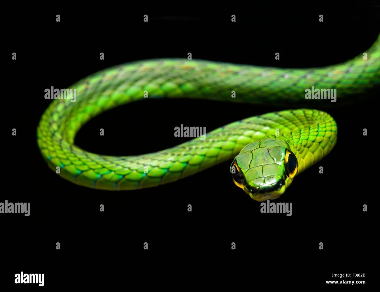 La serpent de vigne (Oxybelis brevirostris), snake (Colubridae), Chocó rainforest, Équateur Banque D'Images