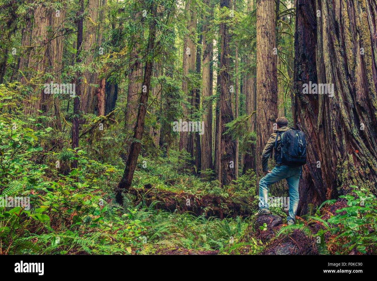 Bois rouge de la randonnée. Les hommes avec sac à dos entouré de bois rouge de la forêt. En Photo Stock