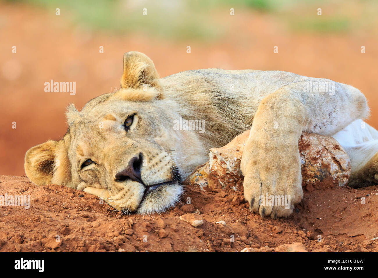 La Namibie, Etosha National Park, jeune lion paresseux Photo Stock