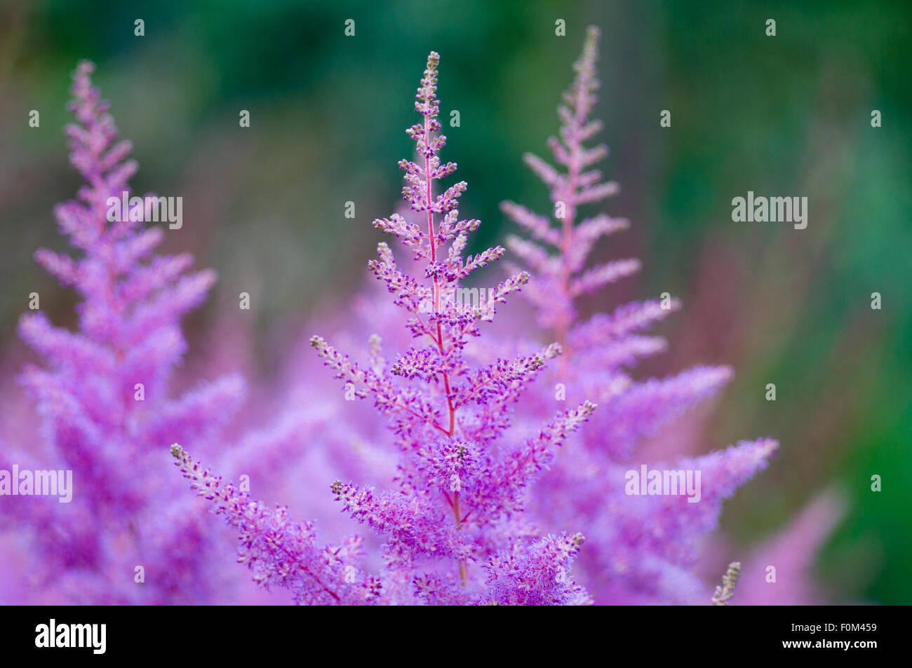 gros plan fleurs astilbe rose banque d'images, photo stock: 86494165