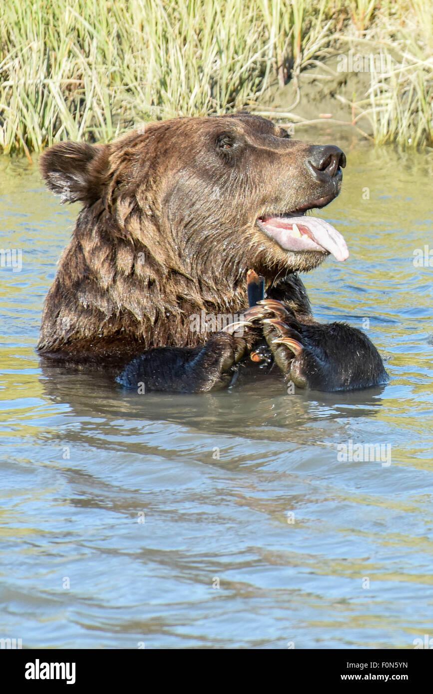 Un ours brun très mignon / grizzli avec sa langue sortir semble être des mains / applaudir dans un ruisseau Photo Stock