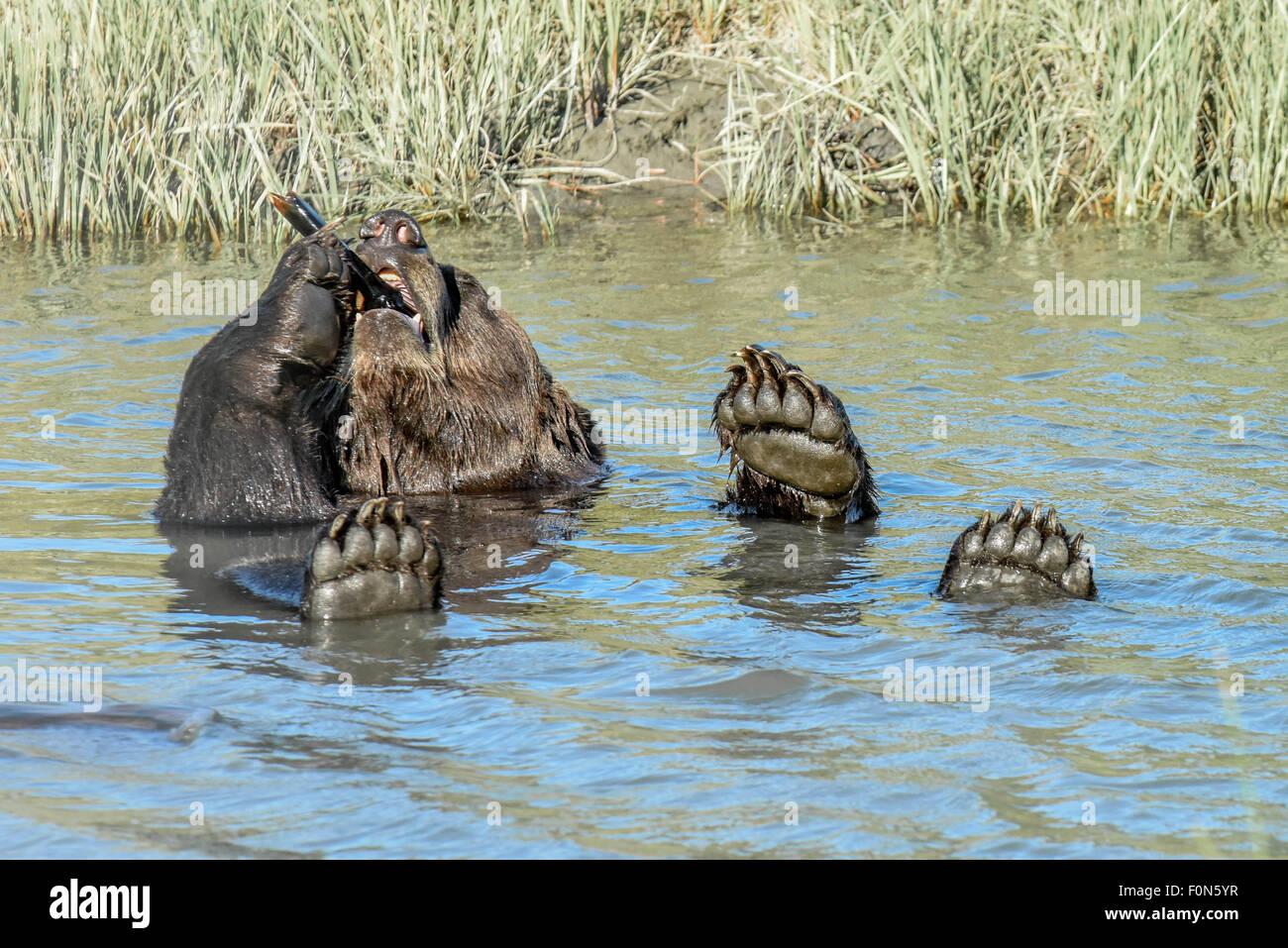 Un ours brun très mignon / grizzli est titulaire d'un os à un cigare avec 4 pattes - flottant dans Photo Stock