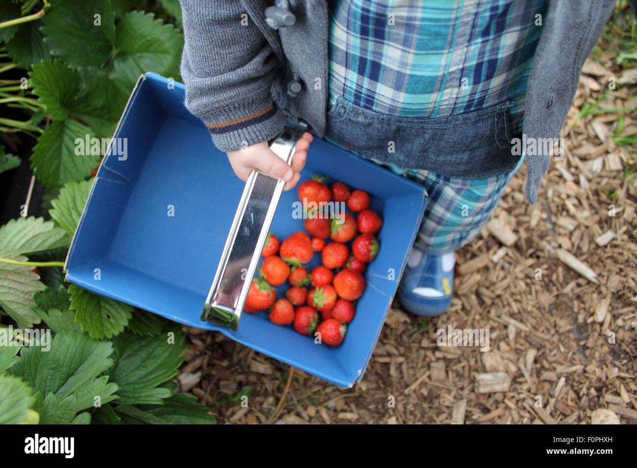 La cueillette des fraises, Hendrewennol tout-petit fruit farm, Bonvilston, Bridgend, Vale of Glamorgan, Pays de Photo Stock