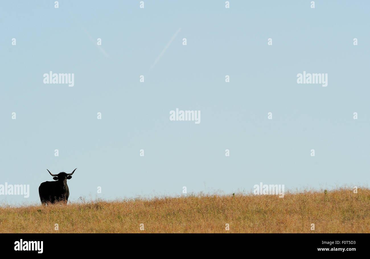 Morucha negra bovins sur horizon, Ciudad Rodrigo, Salamanca, Castilla y Leon, Espagne Photo Stock