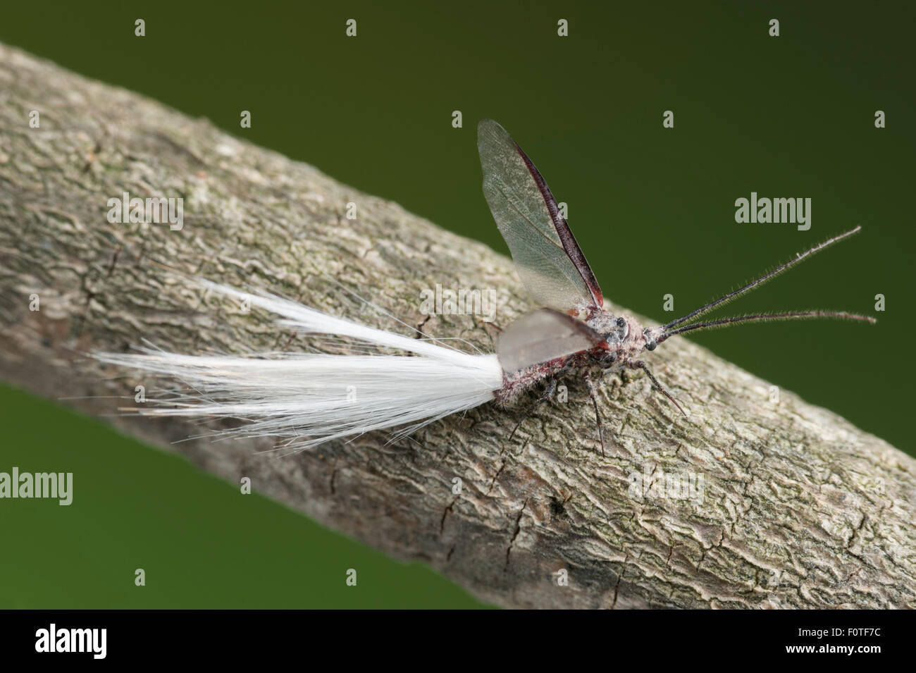 Homme Bird-of-paradise fly Photo Stock