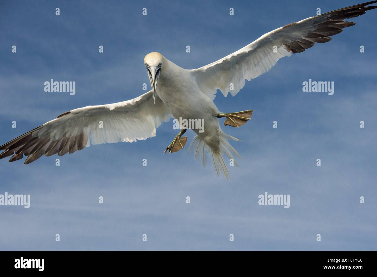 Gannet, South West Cork, County Cork, Ireland Photo Stock