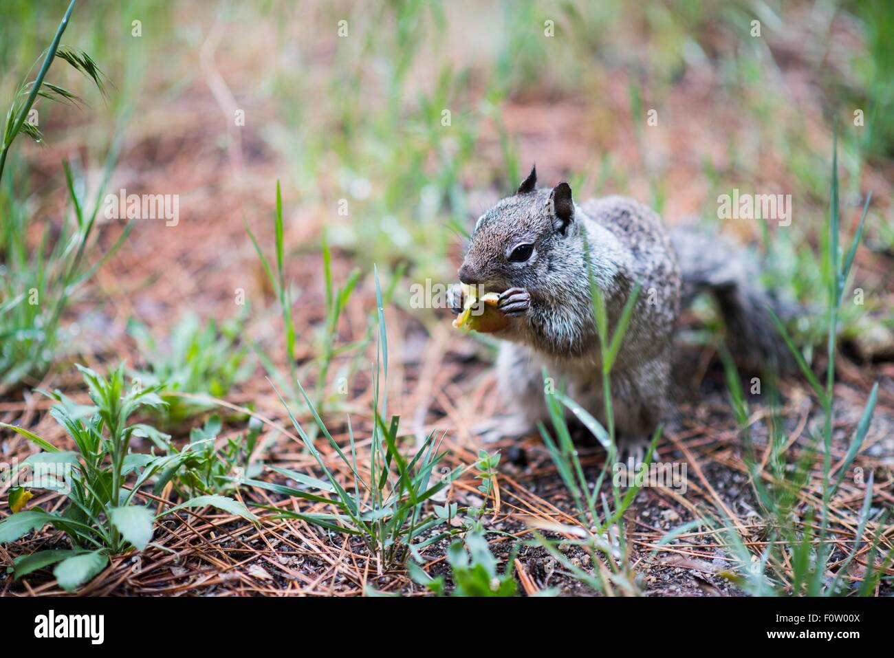 Rez-écureuil, Yosemite National Park, California, USA Photo Stock