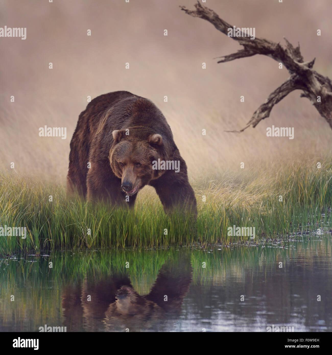 Près de l'étang de l'ours grizzli Photo Stock