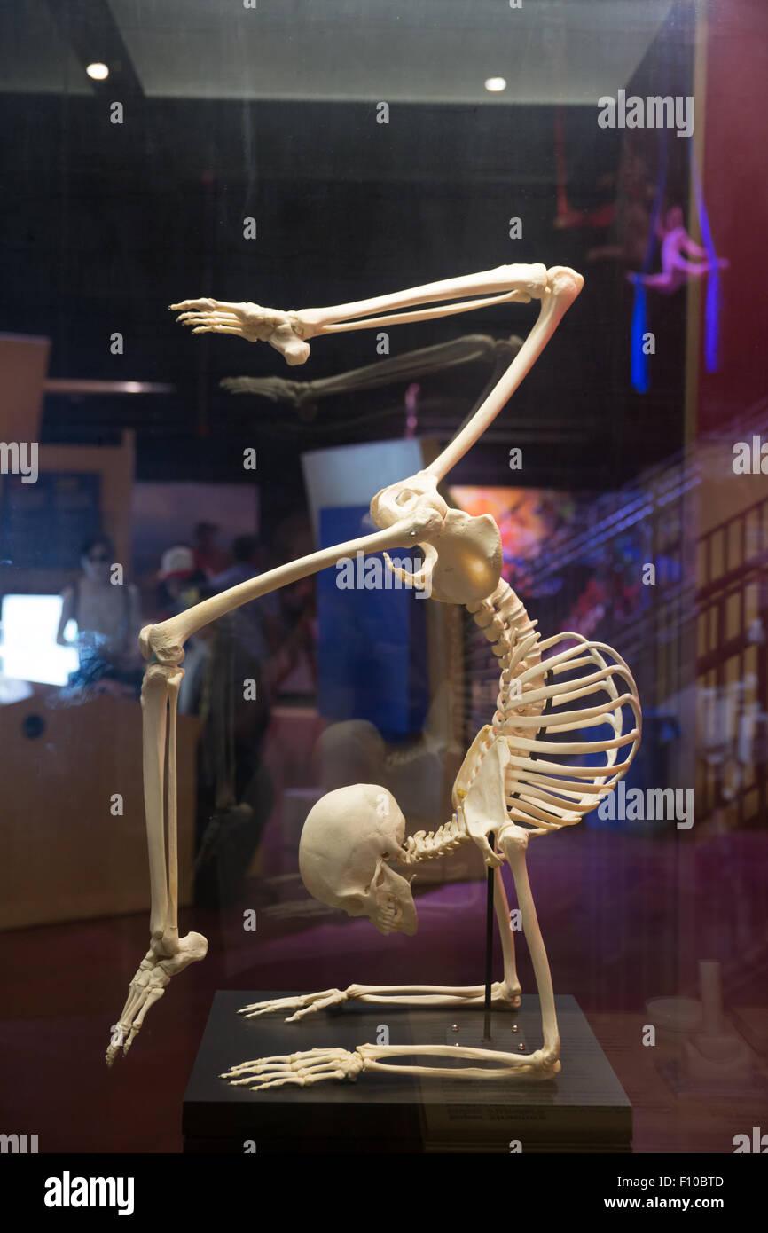 La flexibilité du modèle squelette humain Photo Stock