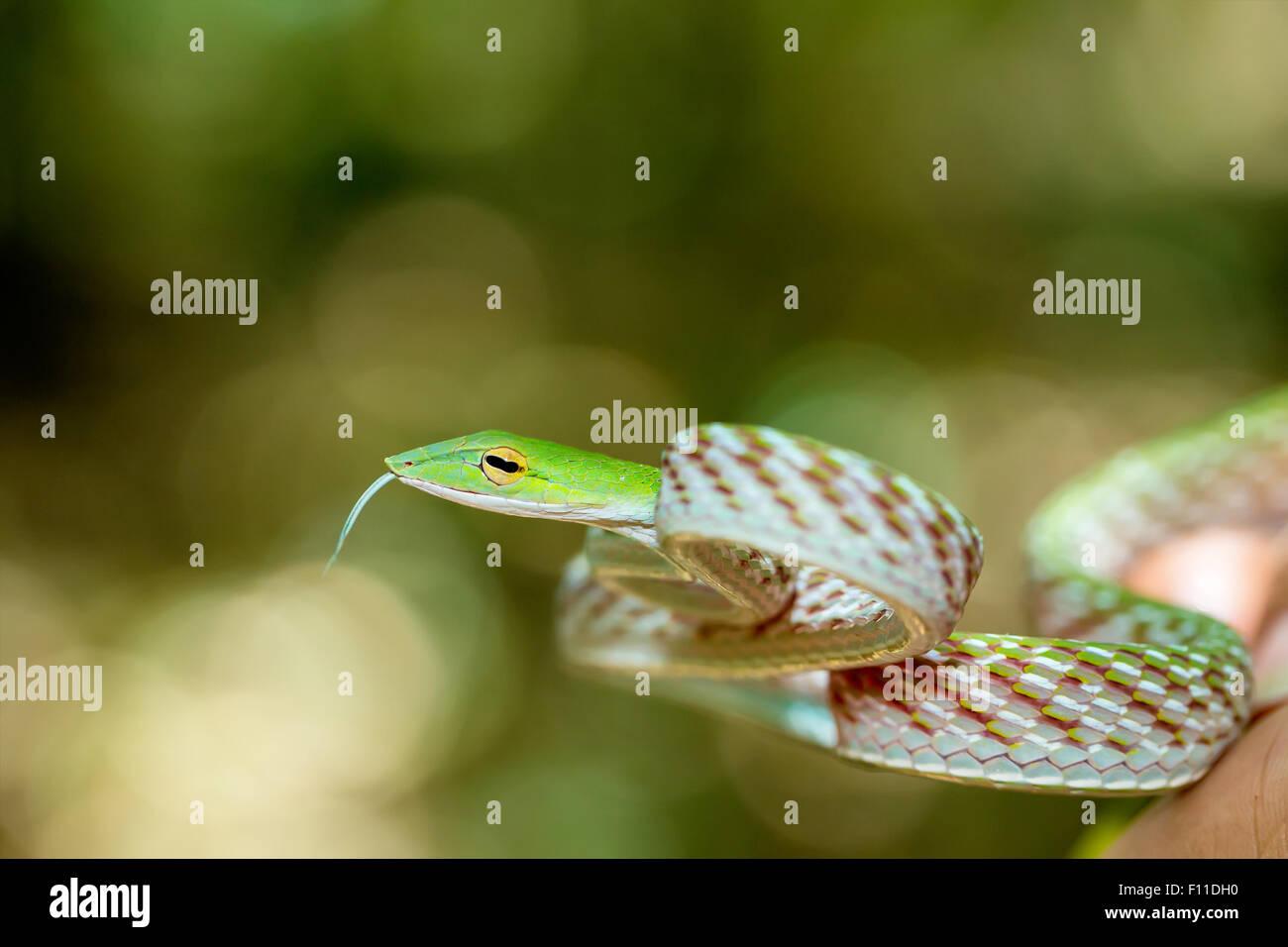 Whipsnake Oriental ou asiatique (Serpent de vigne Ahaetulla prasina) Parc national de Tangkoko. L'île de Sulawesi, en Indonésie, de la faune Banque D'Images