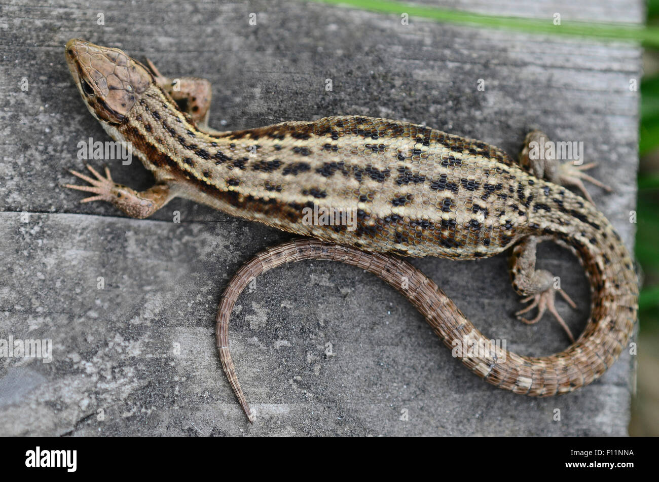 Lézard commun sur l'embarquement en UK Photo Stock