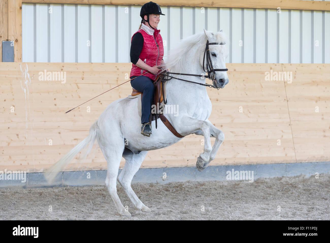 Équitation allemande Rider Poney poney blanc effectuer pesade Photo Stock