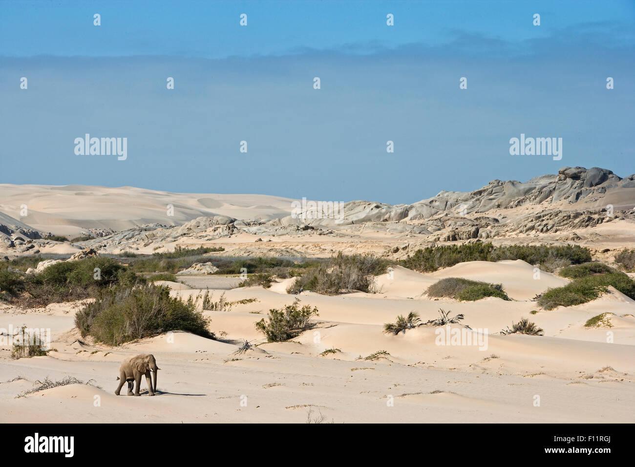 L'éléphant africain, l'éléphant du désert (Loxodonta africana africana) balades adultes le désert Namib-Skeleton Coast National Park, Namibie Banque D'Images