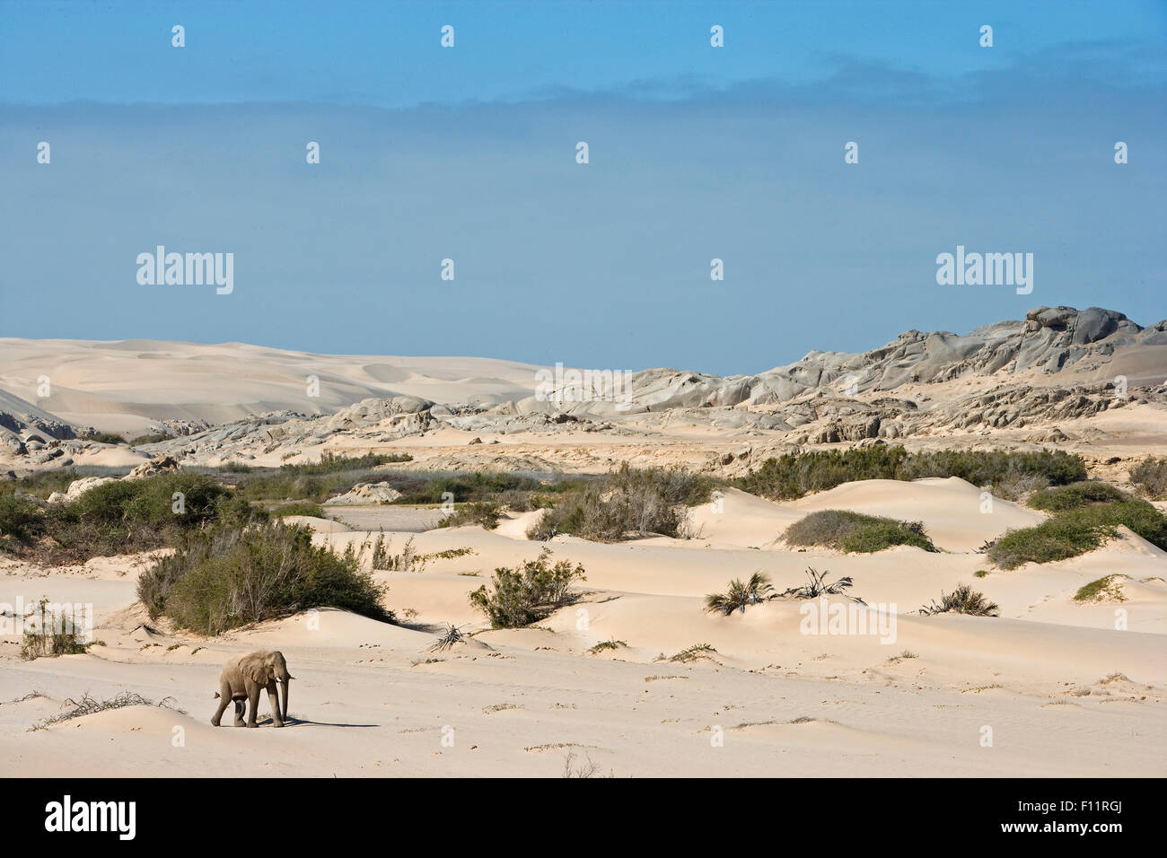 L'éléphant africain, l'éléphant du désert (Loxodonta africana africana) balades Photo Stock