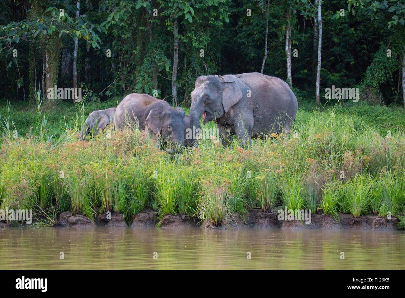 L'éléphant pygmée de Bornéo (Elephas maximus borneensis), la rivière Kinabatangan, Photo Stock