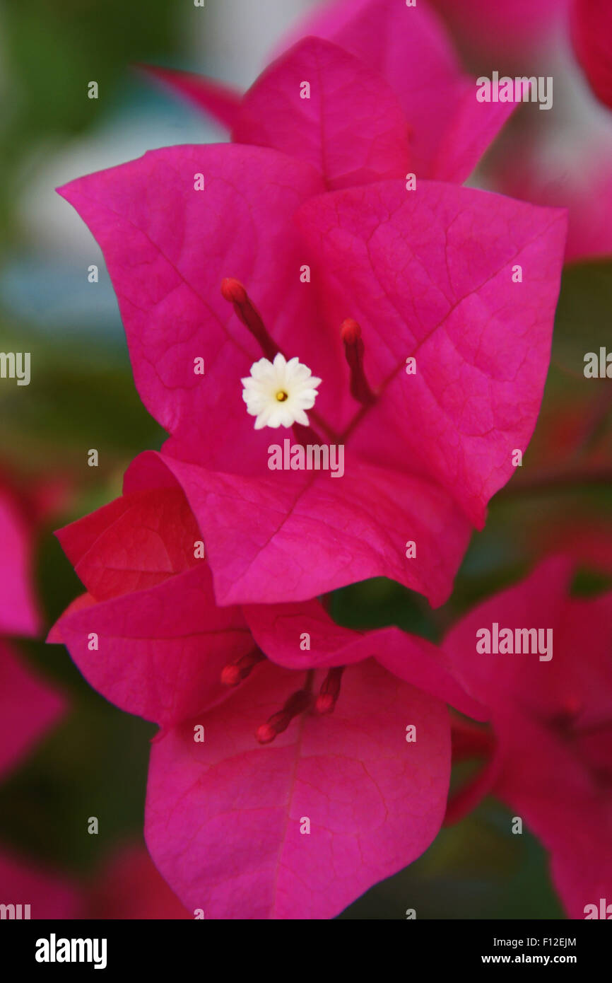 fleur bougainvillier rose vif sony dsc banque d'images, photo stock