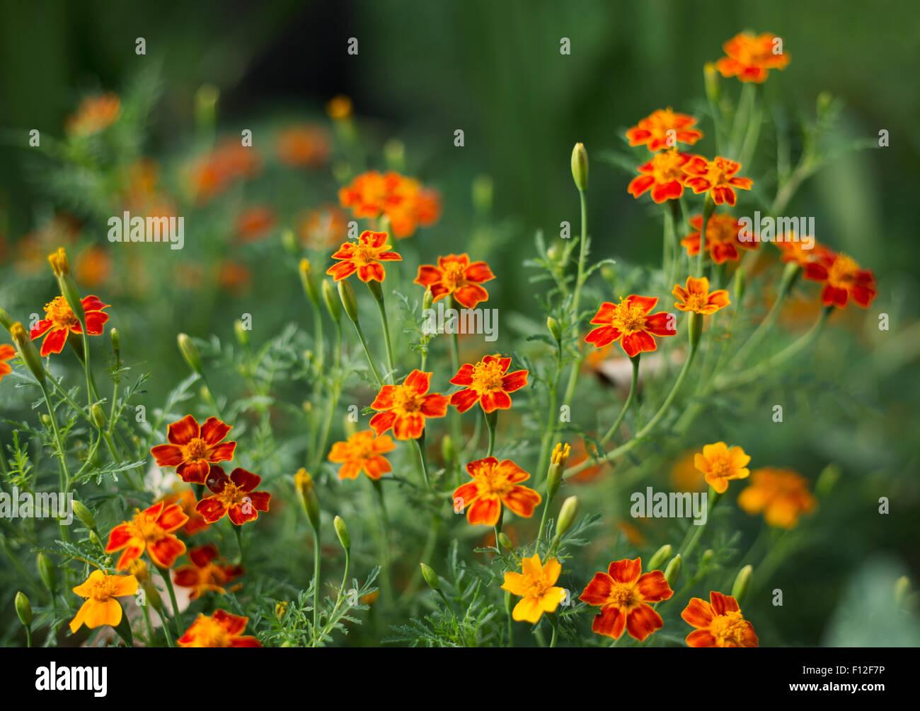 Souci - Tagetes - fleurs orange sur fond d'herbe verte - faible profondeur de discussion Banque D'Images