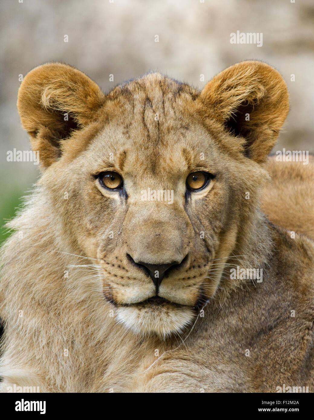 Un portrait d'un jeune lion à peu près 1 ans. Photo Stock