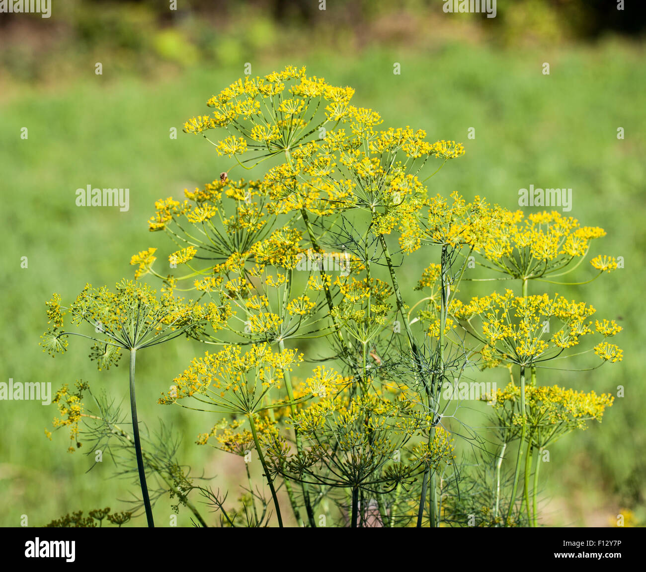 Fleurs d'aneth (Anethum graveolens) Photo Stock