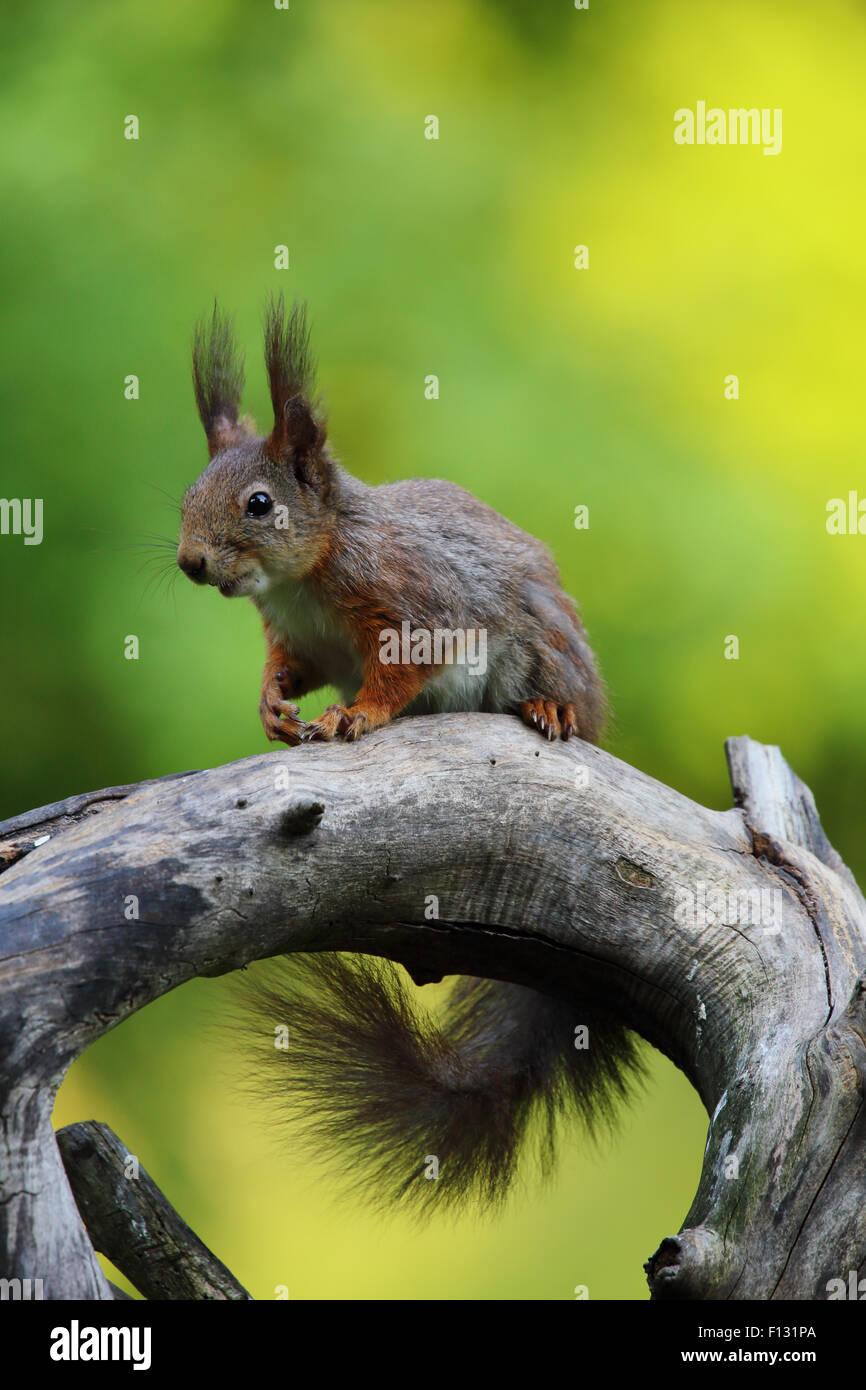Eurasian Écureuil roux (Sciurus vulgaris) Banque D'Images