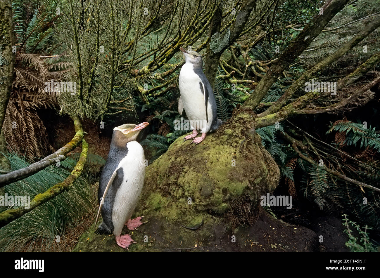 Yellow-eyed Penguin (Megadyptes antipodes) avec chick, nichant dans la forêt dense Dracophyllum. L'île Photo Stock