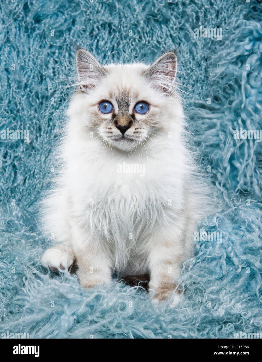 Portrait de chaton blanc moelleux avec des yeux bleus perçants sur de longs cheveux turquoise background Photo Stock