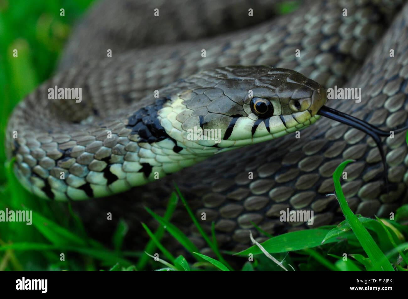 Un gros plan d'une couleuvre dans l'herbe UK Banque D'Images