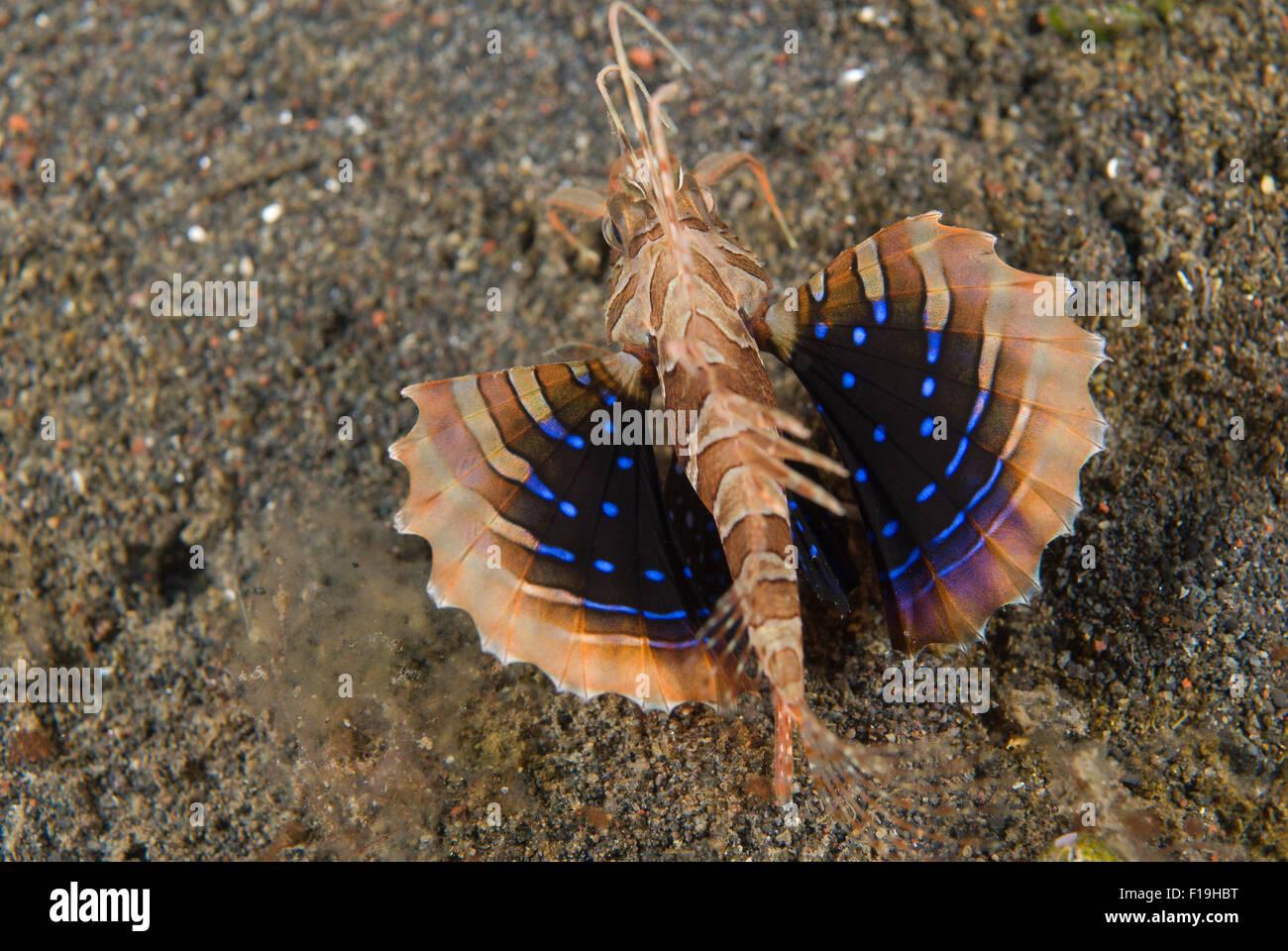 Px8606-D. Parapterois heturus poisson lion Grondin (juvénile). L'Indonésie, de l'océan Pacifique Photo Stock