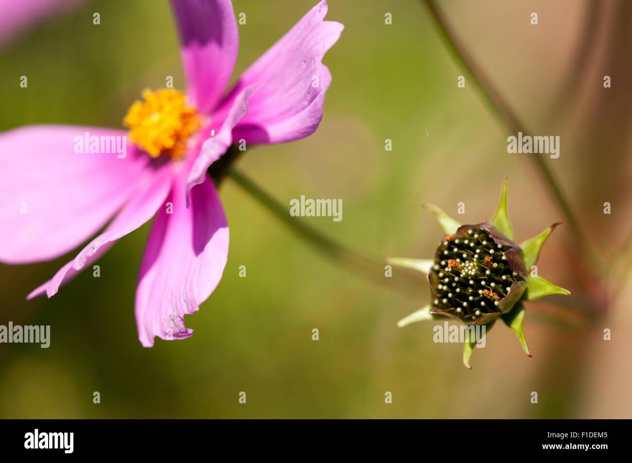 Aster Mexicain Cosmos Bipinnatus Gousse Et Une Fleur Rose A L