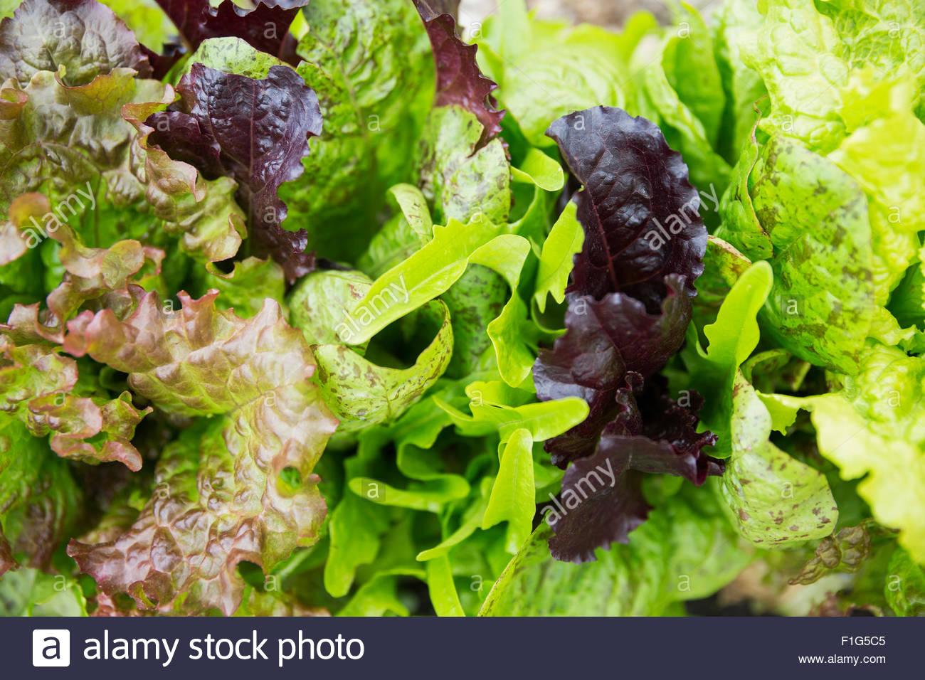 Frais plein cadre vert feuille laitue frisée rouge Photo Stock