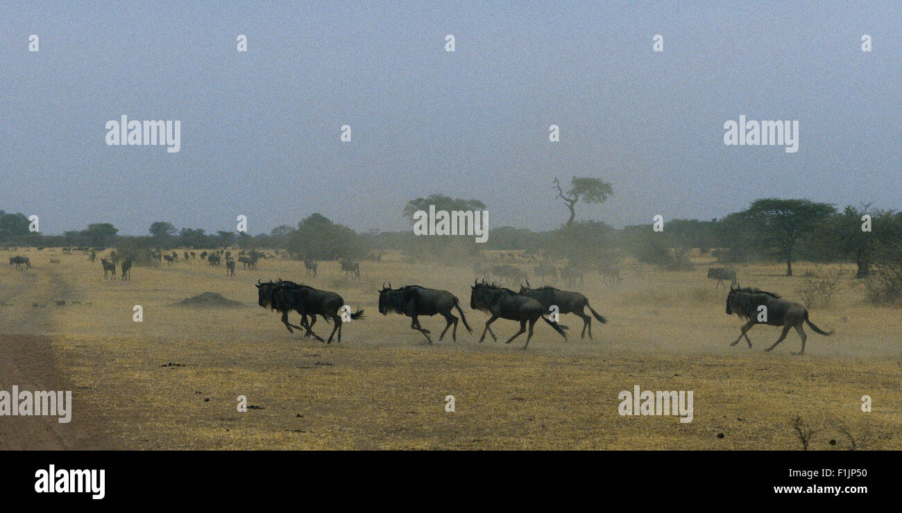 Troupeau de gnous running through Field The Serengeti National Park, Tanzania, Africa Photo Stock