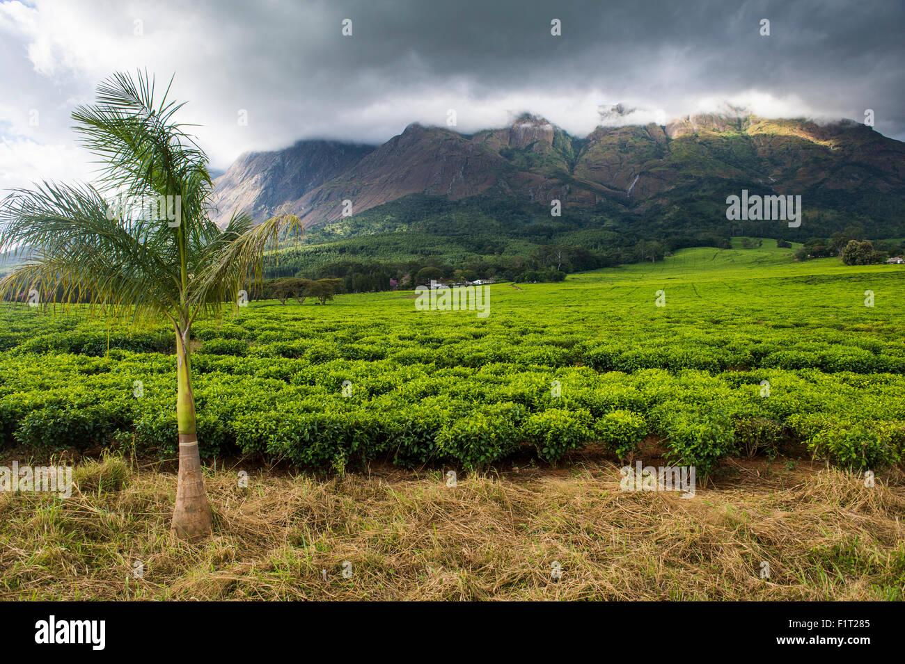 Plantation de thé sur le mont Mulanje, Malawi, Afrique Photo Stock