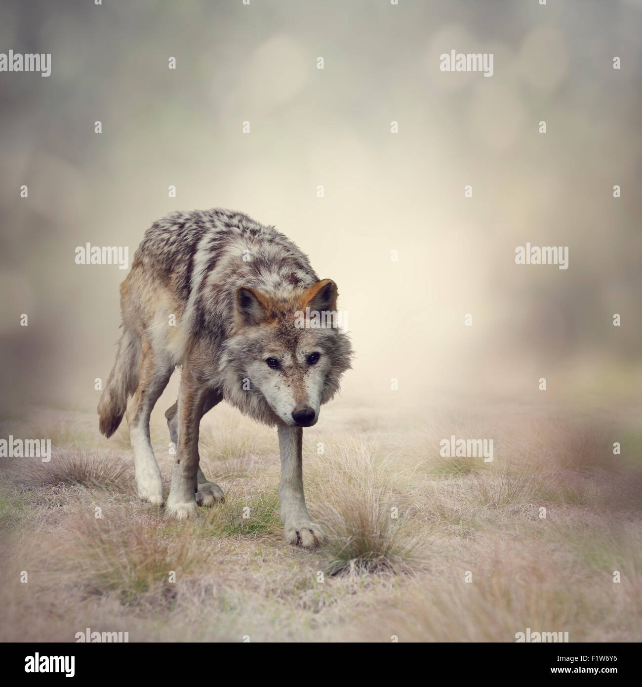 Portrait de Loup gris marcher Photo Stock