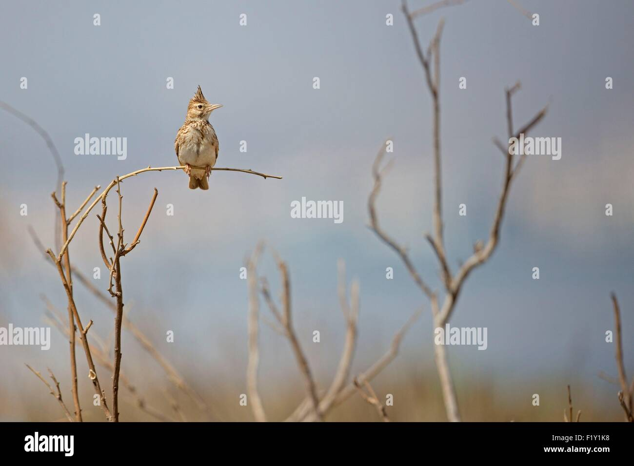 La lagune de Nador, Maroc, Crested lark (Galerida cristata) Photo Stock