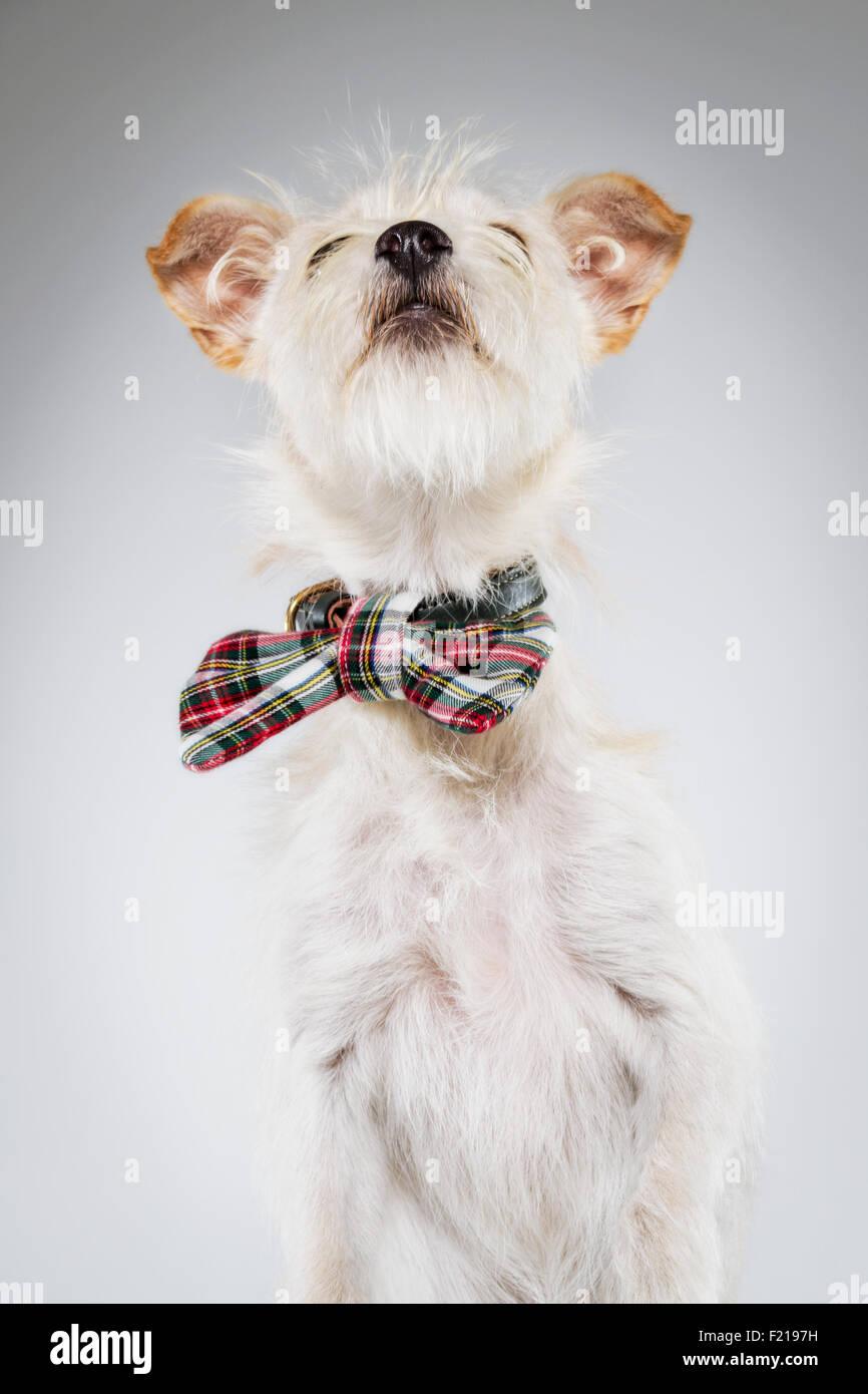 Petit chien blanc à carreaux en nœud papillon à la recherche vers le haut. Photo Stock